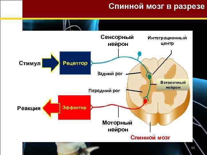 Спинной мозг в разрезе Сенсорный нейрон Стимул Интеграционный центр Рецептор Задний рог Передний рог