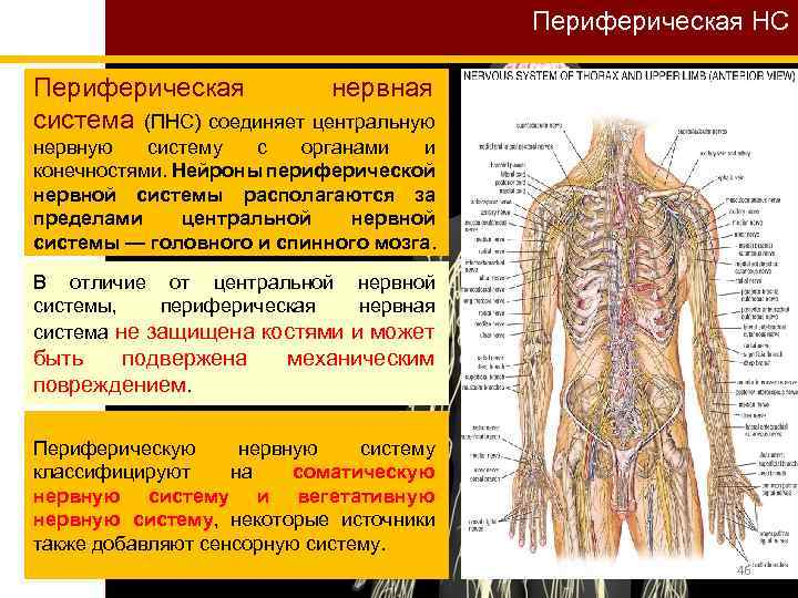 Периферическая НС Периферическая нервная система (ПНС) соединяет центральную нервную систему с органами и конечностями.