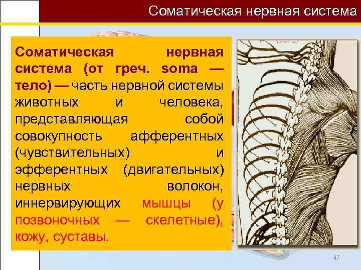 Соматическая нервная система (от греч. soma — тело) — часть нервной системы животных и