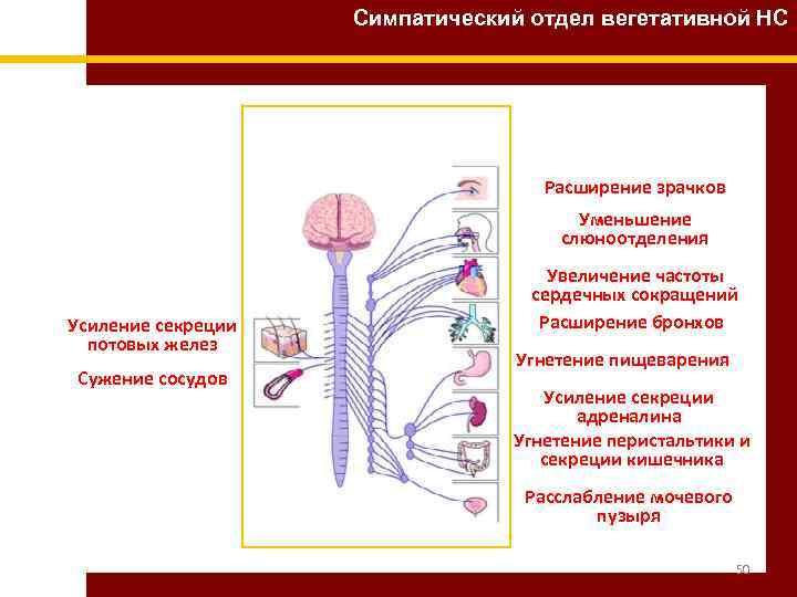 Симпатический отдел вегетативной НС Расширение зрачков Уменьшение слюноотделения Усиление секреции потовых желез Сужение сосудов