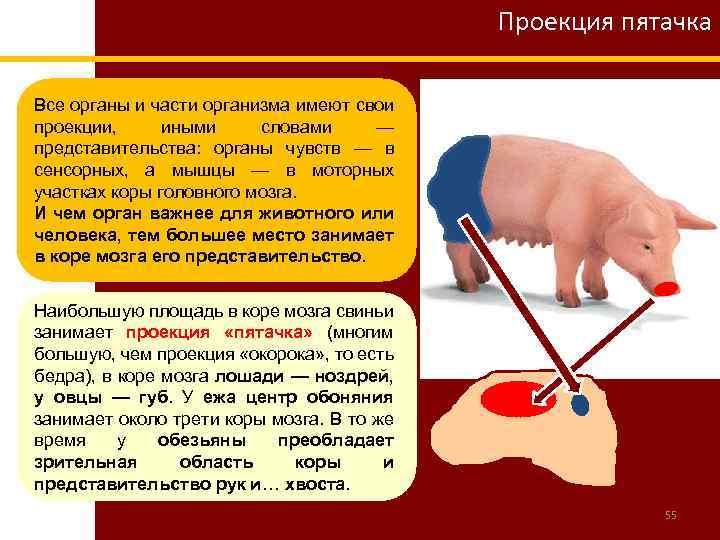 Проекция пятачка Все органы и части организма имеют свои проекции, иными словами — представительства: