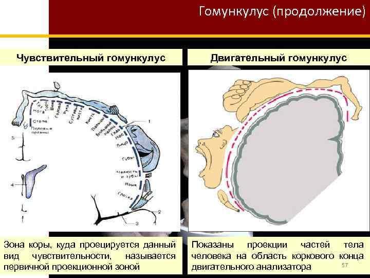 Гомункулус (продолжение) Чувствительный гомункулус Двигательный гомункулус Зона коры, куда проецируется данный вид чувствительности, называется