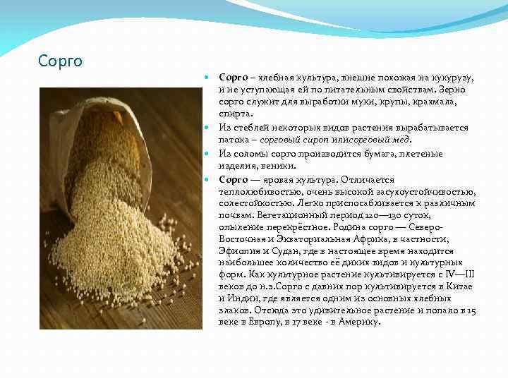 Сорго – хлебная культура, внешне похожая на кукурузу, и не уступающая ей по питательным