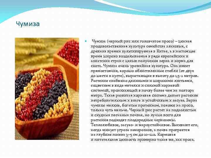 Чумиза (черный рис или головчатое просо) – ценная продовольственная культура семейства злаковых, с древних