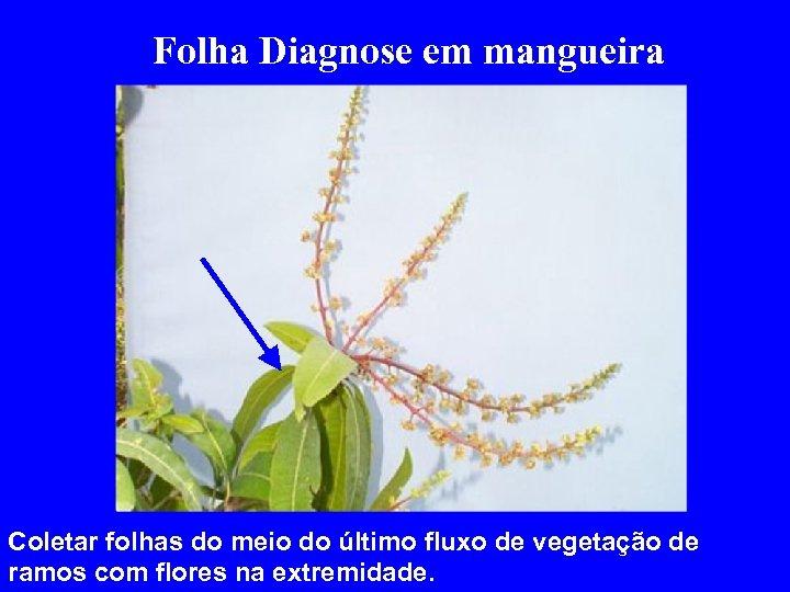 Folha Diagnose em mangueira Coletar folhas do meio do último fluxo de vegetação de
