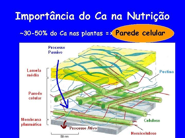 Importância do Ca na Nutrição ~30 -50% do Ca nas plantas => Parede celular