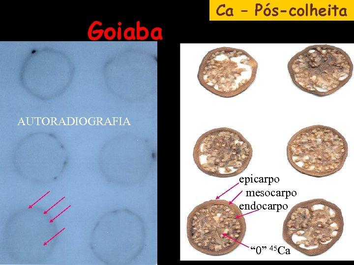 """Goiaba Ca – Pós-colheita AUTORADIOGRAFIA epicarpo mesocarpo endocarpo """" 0"""" 45 Ca"""