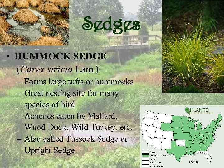 Sedges • HUMMOCK SEDGE (Carex stricta Lam. ) – Forms large tufts or hummocks