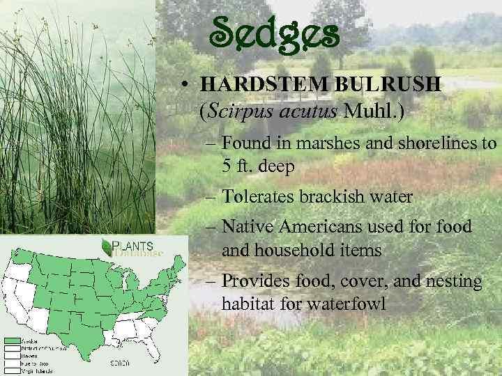 Sedges • HARDSTEM BULRUSH (Scirpus acutus Muhl. ) – Found in marshes and shorelines