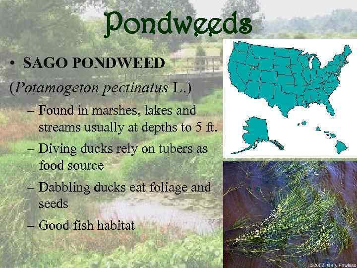 Pondweeds • SAGO PONDWEED (Potamogeton pectinatus L. ) – Found in marshes, lakes and