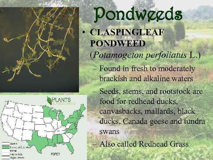 Pondweeds • CLASPINGLEAF PONDWEED (Potamogeton perfoliatus L. ) – Found in fresh to moderately