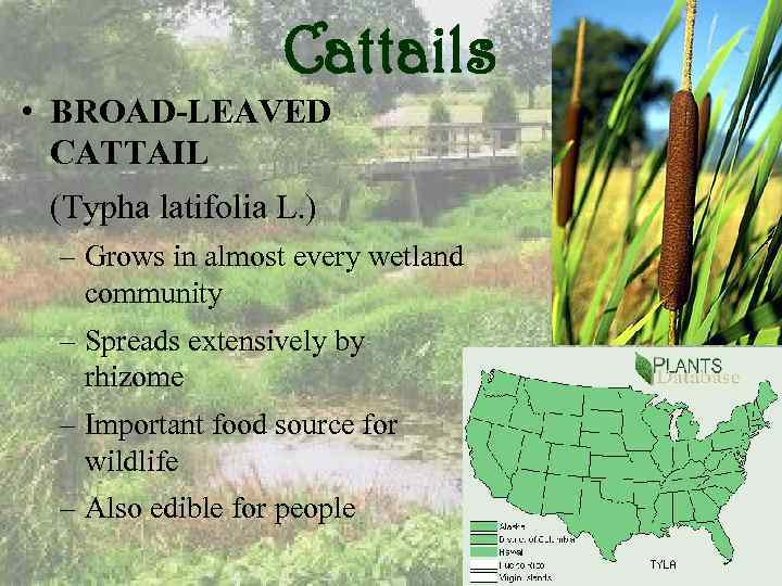 Cattails • BROAD-LEAVED CATTAIL (Typha latifolia L. ) – Grows in almost every wetland