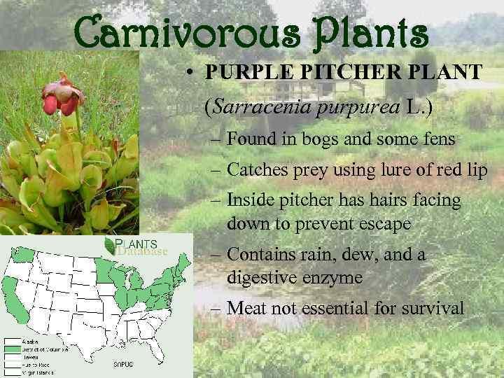 Carnivorous Plants • PURPLE PITCHER PLANT (Sarracenia purpurea L. ) – Found in bogs
