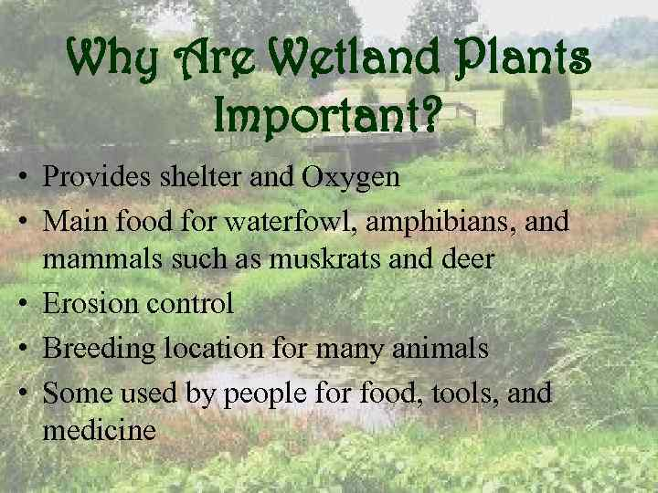 Why Are Wetland Plants Important? • Provides shelter and Oxygen • Main food for