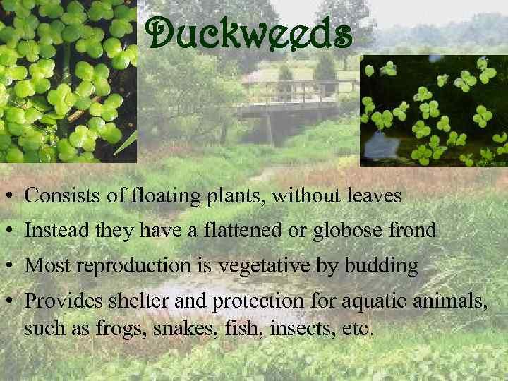 Duckweeds • Consists of floating plants, without leaves • Instead they have a flattened