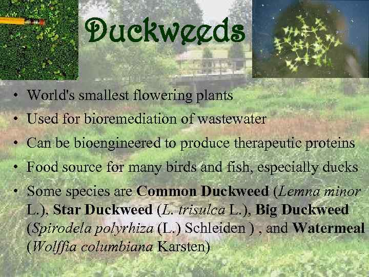 Duckweeds • World's smallest flowering plants • Used for bioremediation of wastewater • Can