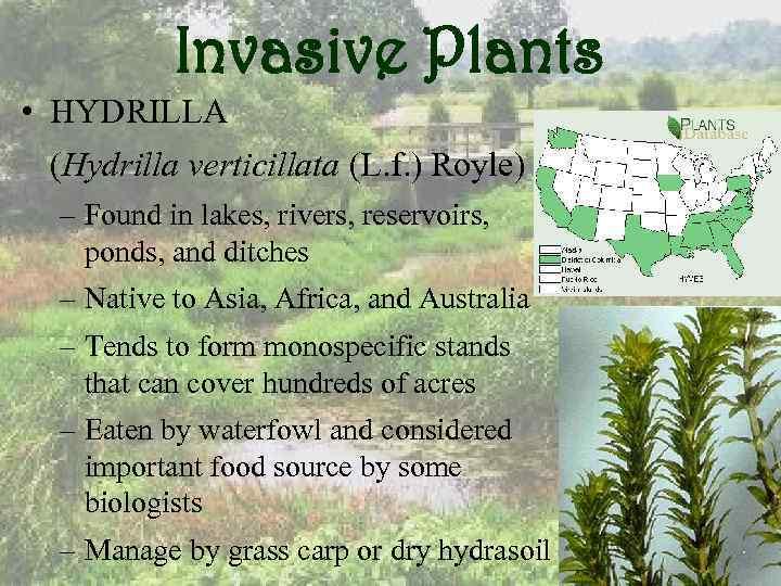 Invasive Plants • HYDRILLA (Hydrilla verticillata (L. f. ) Royle) – Found in lakes,
