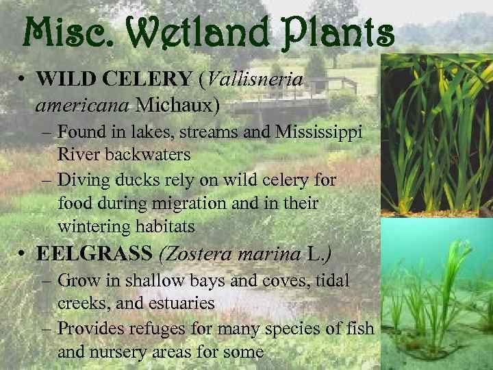 Misc. Wetland Plants • WILD CELERY (Vallisneria americana Michaux) – Found in lakes, streams