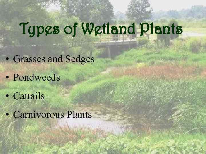 Types of Wetland Plants • Grasses and Sedges • Pondweeds • Cattails • Carnivorous