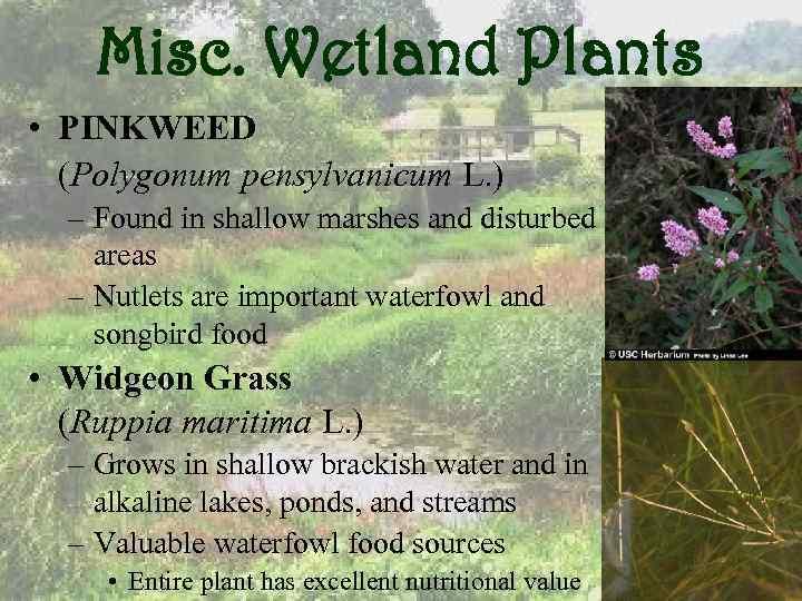 Misc. Wetland Plants • PINKWEED (Polygonum pensylvanicum L. ) – Found in shallow marshes