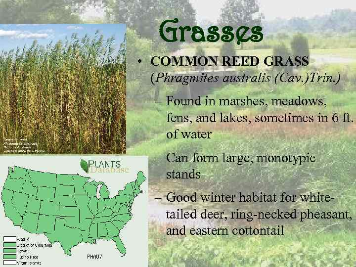 Grasses • COMMON REED GRASS (Phragmites australis (Cav. )Trin. ) – Found in marshes,
