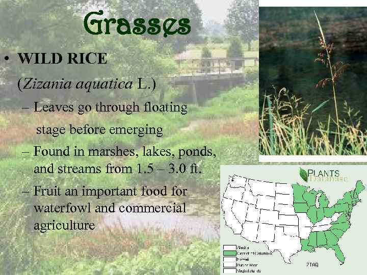 Grasses • WILD RICE (Zizania aquatica L. ) – Leaves go through floating stage