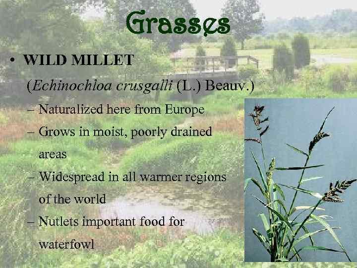 Grasses • WILD MILLET (Echinochloa crusgalli (L. ) Beauv. ) – Naturalized here from