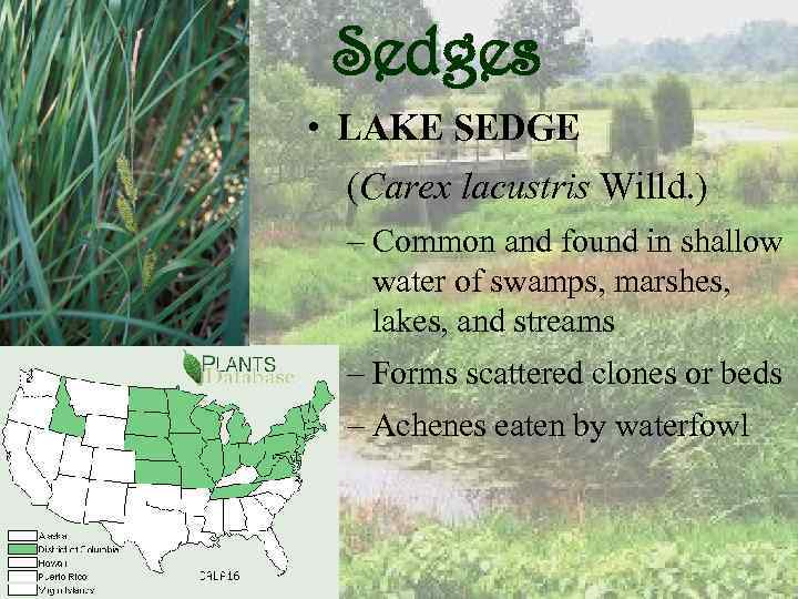 Sedges • LAKE SEDGE (Carex lacustris Willd. ) – Common and found in shallow