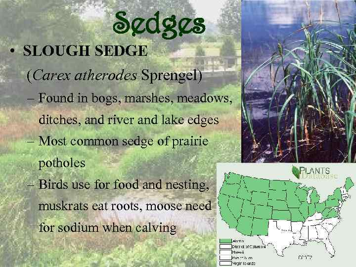 Sedges • SLOUGH SEDGE (Carex atherodes Sprengel) – Found in bogs, marshes, meadows, ditches,
