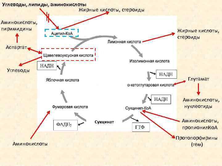 Углеводы, липиды, аминокислоты Жирные кислоты, стероиды Аминокислоты, пиримидины Жирные кислоты, стероиды Аспартат Углеводы Глутамат