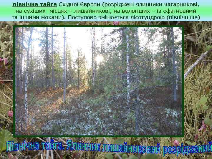 північна тайга Східної Європи (розріджені ялинники чагарникові, на сухіших місцях – лишайникові, на вологіших