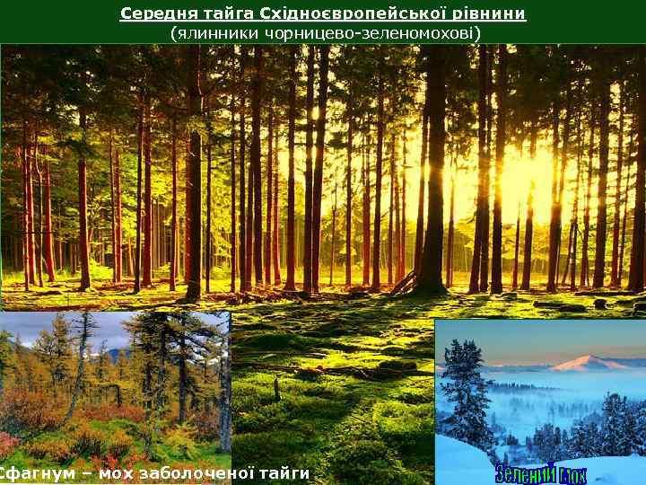 Середня тайга Східноєвропейської рівнини (ялинники чорницево-зеленомохові) Сфагнум – мох заболоченої тайги