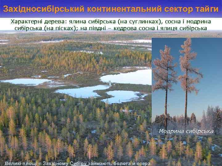 Західносибірський континентальний сектор тайги Характерні дерева: ялина сибірська (на суглинках), сосна і модрина сибірська