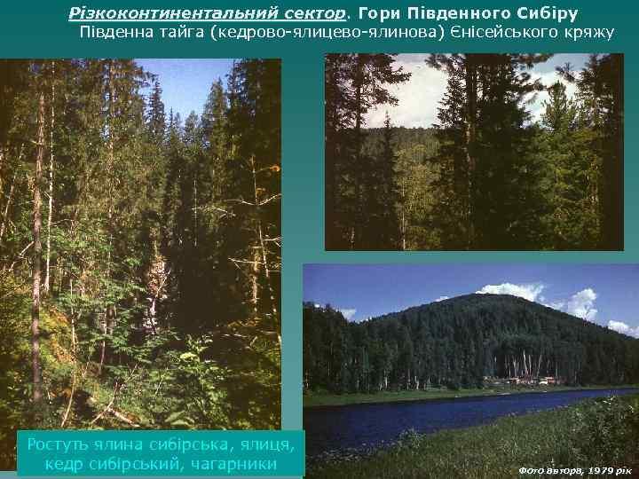 Різкоконтинентальний сектор. Гори Південного Сибіру Південна тайга (кедрово-ялицево-ялинова) Єнісейського кряжу Ростуть ялина сибірська, ялиця,