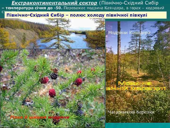 Екстраконтинентальний сектор (Північно-Східний Сибір – температура січня до -50. Переважає модрина Каяндера, в горах