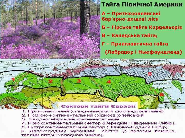 Тайга Північної Америки А – Притихоокеанські бар'єрно-дощові ліси Б – Гірська тайга Кордельєрів В