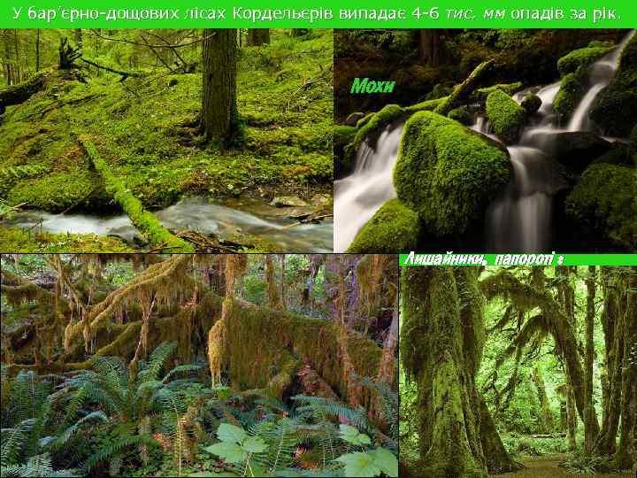 У бар'єрно-дощових лісах Кордельєрів випадає 4 -6 тис. мм опадів за рік. Мохи