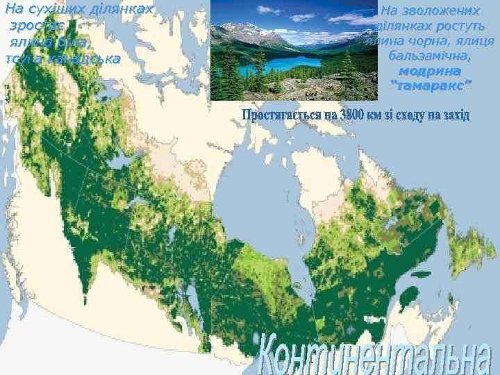 На сухіших ділянках зростає ялина біла, тсуга канадська На зволожених ділянках ростуть ялина чорна,