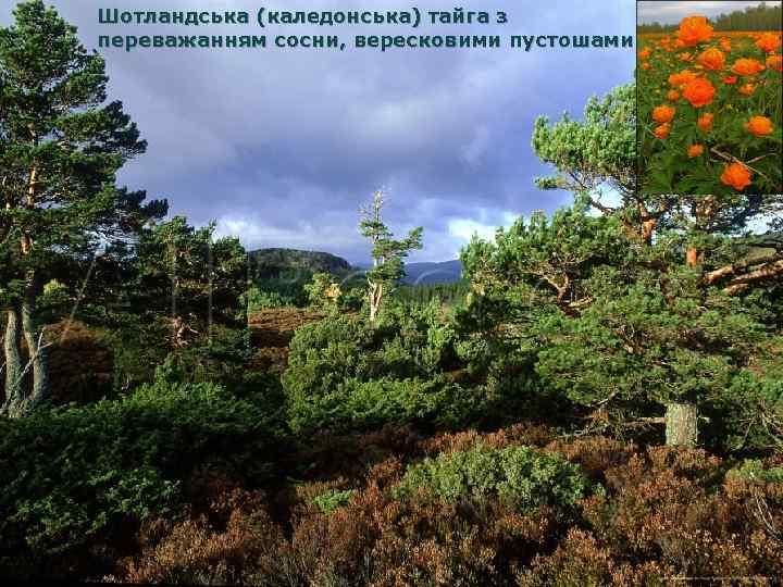 Шотландська (каледонська) тайга з переважанням сосни, вересковими пустошами