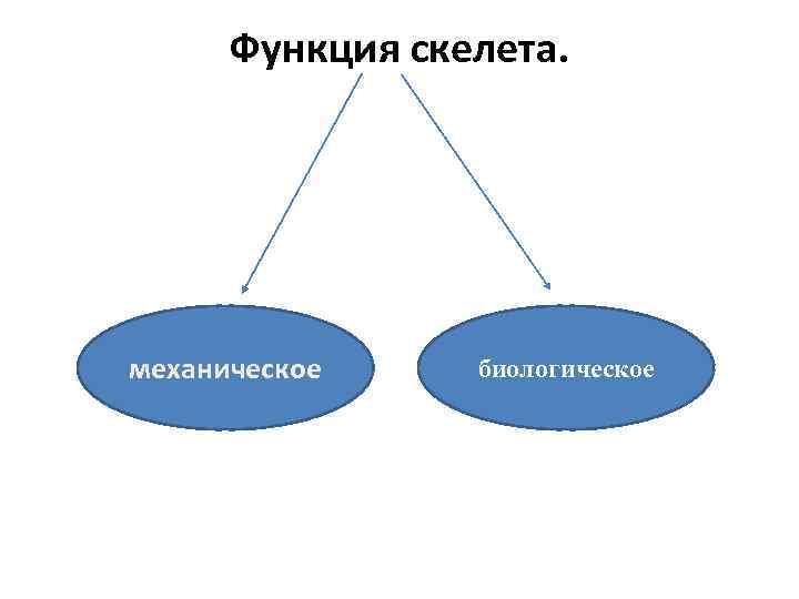 Функция скелета. механическое биологическое