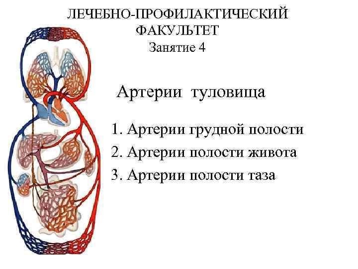 ЛЕЧЕБНО-ПРОФИЛАКТИЧЕСКИЙ ФАКУЛЬТЕТ Занятие 4 Артерии туловища 1. Артерии грудной полости 2. Артерии полости живота