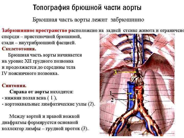 Топография брюшной части аорты Брюшная часть аорты лежит забрюшинно Забрюшинное пространство расположено на задней