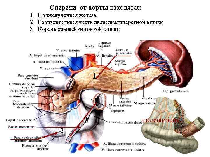 Спереди от аорты находятся: 1. Поджелудочная железа 2. Горизонтальная часть двенадцатиперстной кишки 3. Корень