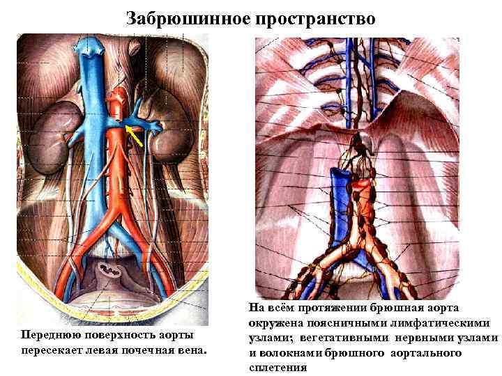 Забрюшинное пространство Переднюю поверхность аорты пересекает левая почечная вена. На всём протяжении брюшная аорта