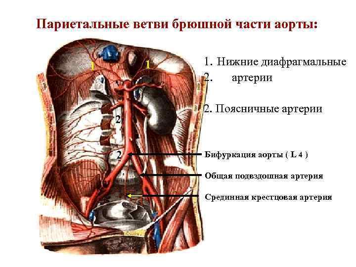 Париетальные ветви брюшной части аорты: 1 1 2 2 1. Нижние диафрагмальные 2. артерии