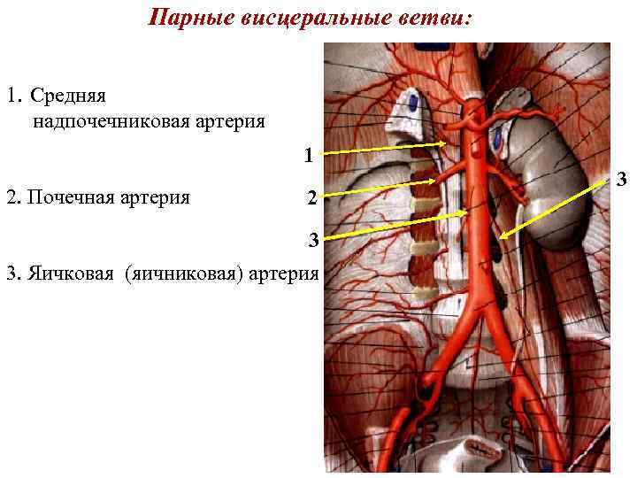 Парные висцеральные ветви: 1. Средняя надпочечниковая артерия 1 2. Почечная артерия 2 3 3.