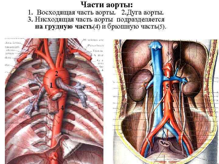 Части аорты: 1. Восходящая часть аорты. 2. Дуга аорты. 3. Нисходящая часть аорты подразделяется