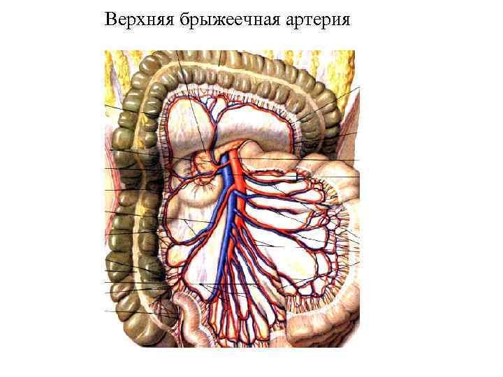 Верхняя брыжеечная артерия