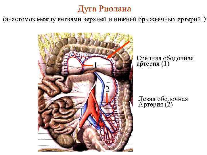 Дуга Риолана (анастомоз между ветвями верхней и нижней брыжеечных артерий ) Средняя ободочная артерия