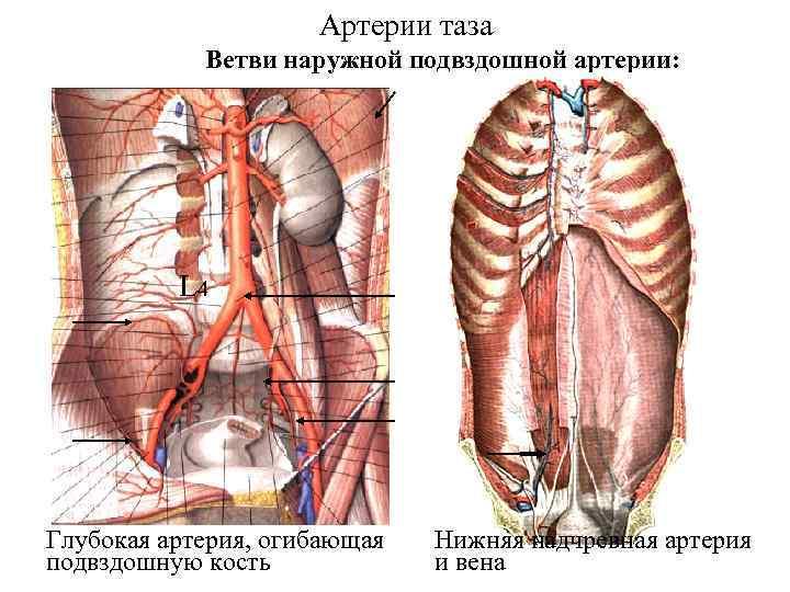 Артерии таза Ветви наружной подвздошной артерии: L 4 Глубокая артерия, огибающая подвздошную кость Нижняя